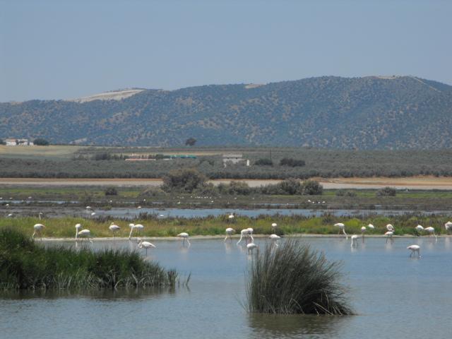 Wild flamingos at Laguna Fuente de Piedra
